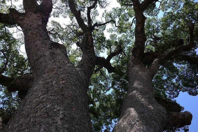 10 真下から見ると巨木だ.JPG