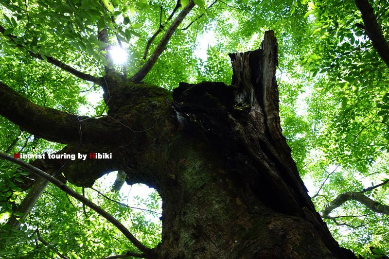 11 御神木です.jpg