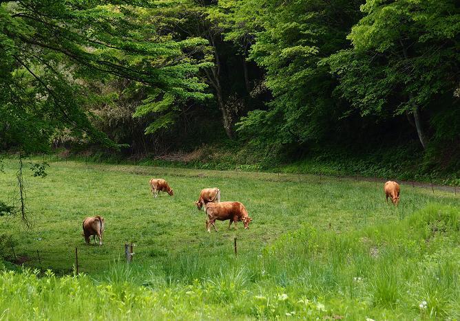 11 牛もいます.JPG