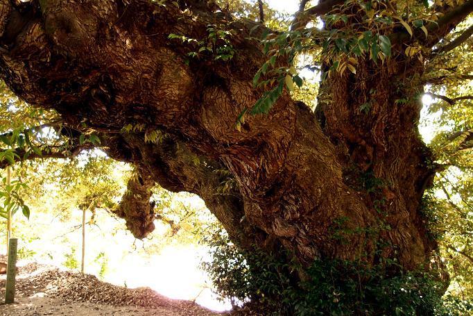 14 こんなに大きなどんぐりの木は初めて.JPG