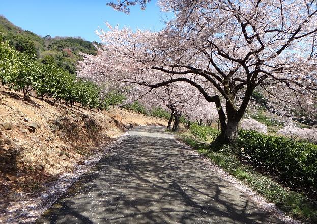 15 しばらく続く桜並木.JPG