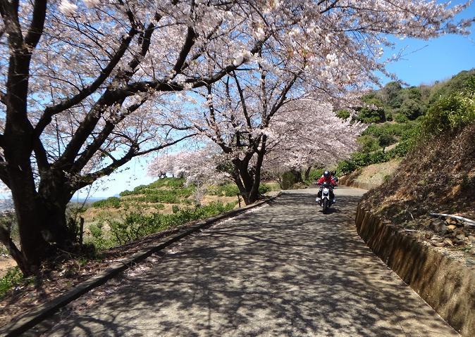 16 桜の花びらを除けながら走れます.JPG