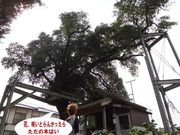 17 金木犀の大木.jpg