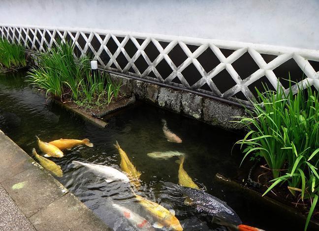 18 津和野名物巨大な鯉.JPG