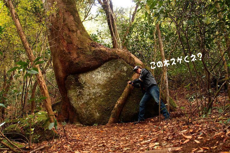 18 石を食べてる木.JPG