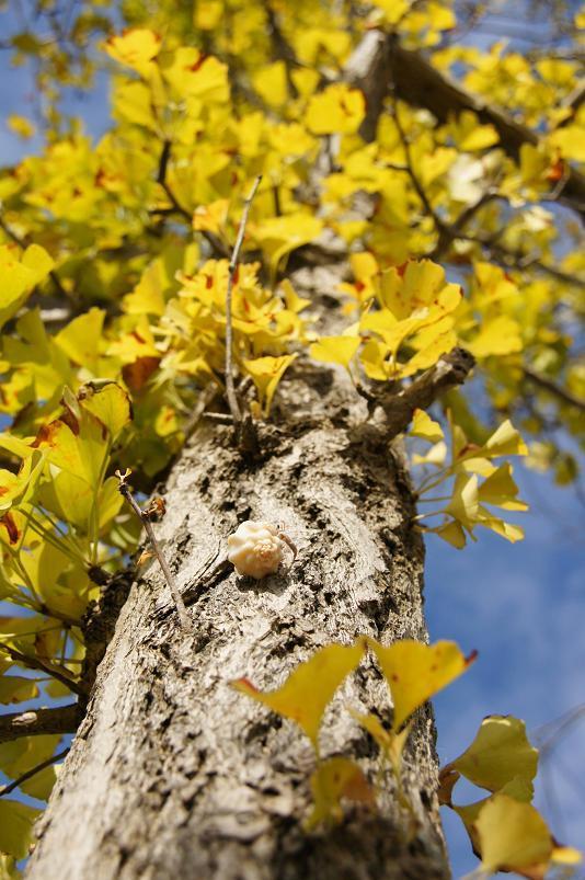19 銀杏の木の肌も登りやすいらしい.JPG