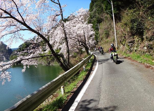 25 ダムの桜.JPG