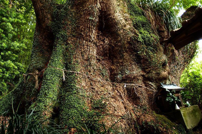 26 巨木.JPG