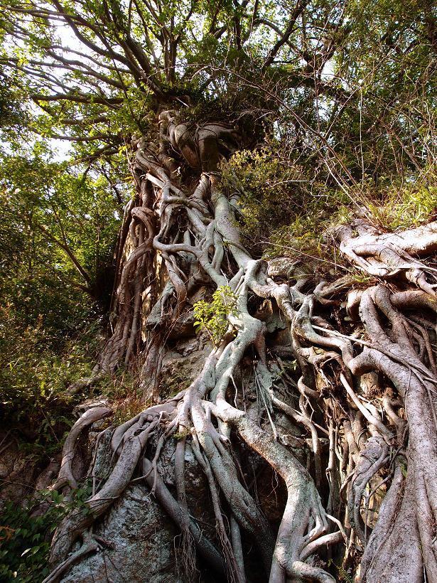 30 アコウの木.JPG
