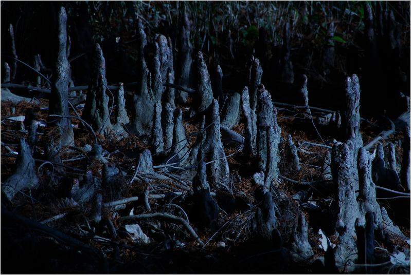 30 メタセコイヤ独特の根です.JPG