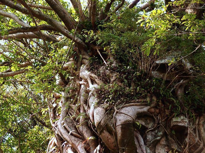 32 ラピュタの木にソックリ.JPG