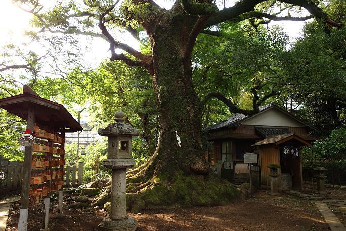 34 樹齢300年の楠.JPG