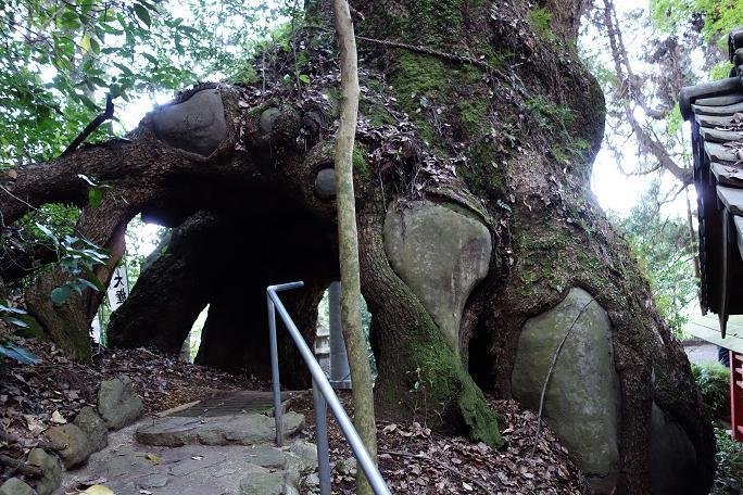 45 これまった凄い楠木の登場ですよ.JPG