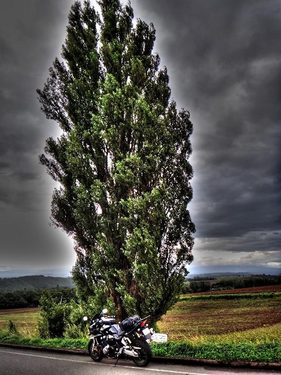 8 ポプラの老木.JPG