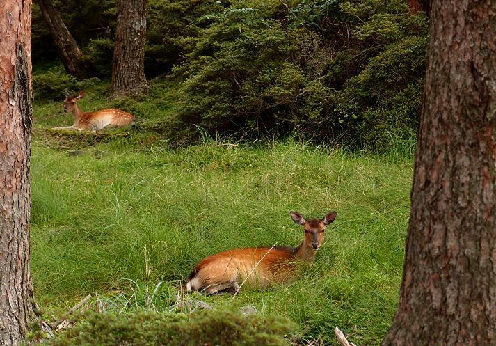 9 野良鹿.JPG