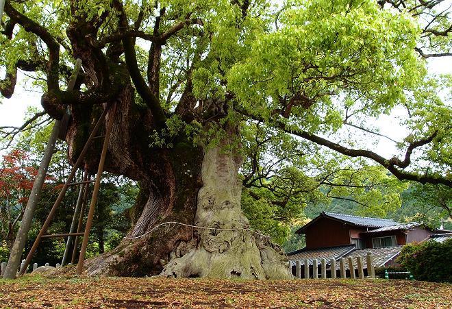 巨木です.JPG