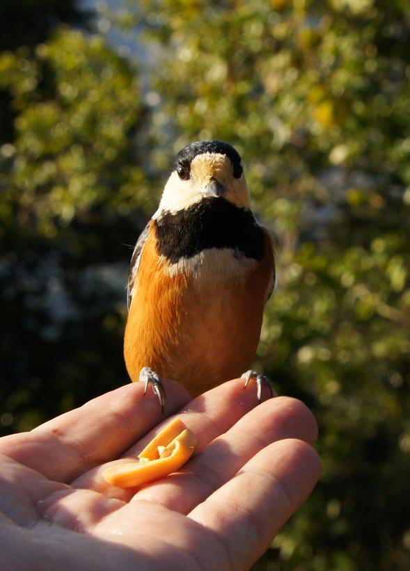 コンデジで撮れる貴重な野鳥です.JPG