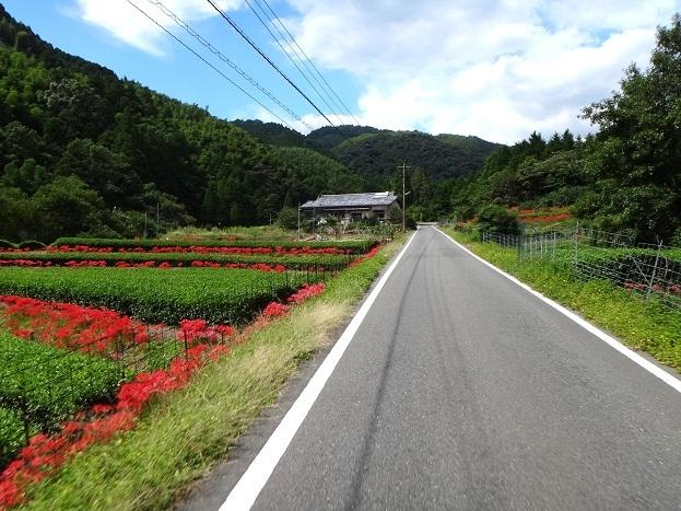 茶畑と彼岸花.jpg
